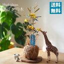 (送料無料) 3/1頃より順次発送! キリンの木 フェバリウム ヤシ玉仕立て アレンジ / 観葉植物・きりんの木