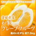 【送料無料】 愛媛県産 『和製グレープフルーツ』 風のいたずら(ちょっと訳あり) 大玉 2L〜3Lサイズ(約7.5kg)