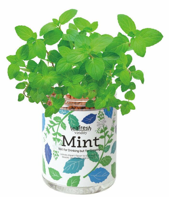 聖新陶芸育てるグリーンペットミントインテリア底面給水景品プレゼントハーブ栽培セットギフト