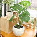 モンステラ陶器鉢(鉢皿無しのため格安)観葉植物※限定2鉢高さ45cm〜55cm