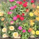 ミニバラ苗 3.5号 24鉢セット花鉢※花色おまかせ複数注文の場合はMIXになります。
