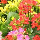 花の苗カランコエ(ベニベンケイ)2.5号ポット※色はおまかせ複数注文の場合はMIXになります。