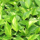 観葉植物 ポトス 3号ポットオウゴンカズラ 黄金葛育てやすくとってもかわいい。