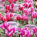 花の苗ガーデン シクラメン苗 3号ポット花色おまかせ複数注文の場合はMIXで送らせていただきます。