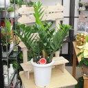 ザミオクルカス(ザミーフォリア)高さ70cm〜80cm 7号プラ鉢観葉植物(生花)※葉乱れ有り。