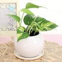 ポトス空気浄化観葉植物(生花)陶器鉢(プラ鉢皿付)