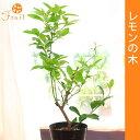 レモンの木5号プラ鉢 果樹 庭木
