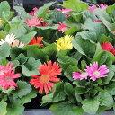 花の苗 ガーベラ(ミニ)の苗 3号ポット※色はおまかせ