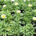 花の苗クリサンセマム ノースポールの苗 3号ポット