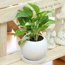 観葉植物(生花)ポトス ライムポトス マーブル選択陶器鉢(鉢皿付)高さ40cm〜50cm