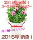 ユーストマチェリービー(鉢物トルコキキョウ)ピンク4号バスケット♪※4月20日頃より発送☆誕生日・結