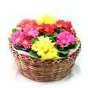 ミニガーベラ7鉢!・バスケット入り♪☆誕生日・結婚祝・入学祝い。母の日ギフトに♪【送料無料】【楽ギフ_メッセ入力】
