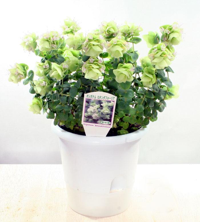 ☆オレガノ(オレガナム)ロタンダフォーリア5号鉢植え