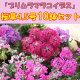 桜草「プリムラマラコイデス」(サクラソウ)♪4.5号10鉢セット【産地直送!】