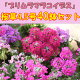 桜草「プリムラマラコイデス」(サクラソウ)♪4.5号40鉢セット【産地直送!】