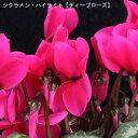 シクラメン・特大6号鉢【ピンク系】ハイライト-「ディープロー...