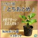 いちご苗【とちおとめ】9cmポット苗×3ポット