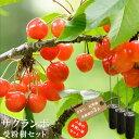 【限定販売】 人気のサクランボ 受粉樹3点セット (さおり、佐藤錦、紅秀峰 ) 1年生 接ぎ木 苗