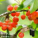 【限定販売 お買い得】人気のサクランボ 受粉樹2点セット (さおりと紅秀峰) 1年生 接ぎ木 苗