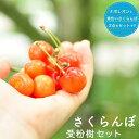 【限定販売】 人気のサクランボ 受粉樹2点セット (ナポレオンと黄色いサクランボ ) 1年生 接ぎ木 苗