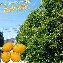 パッションフルーツの仲間 ミズレモン ポット 苗 果樹苗木 果樹苗 トケイソウ 緑のカーテン