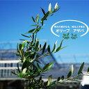 オリーブの木 オリーブ アザパ 2年生苗 庭木 常緑樹 苗 苗木 常緑樹 鉢植え