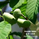 【プロリフィックス】 ポポー 2年生 接ぎ木 苗 ルートポーチ植え ■限定販売■