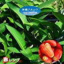 赤レンブ 大苗 4.5号ポット 沖縄県産 【予約販売4月下旬頃入荷予定】