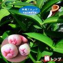 桃レンブ 大苗 4.5号ポット 沖縄県産 【予約販売4月下旬頃入荷予定】