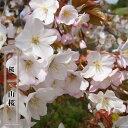 桜 苗木 さくら 山桜 1年生 実生苗 庭木 落葉樹 シンボルツリーサクラ