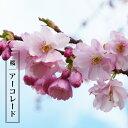 桜 苗木 さくら アーコレード 1年生 接ぎ木 苗 サクラ 【予約販売12月頃入荷予定】