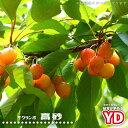 さくらんぼ 【 YD 高砂 】 1年生矮性(ワイ性)台木 接ぎ木 苗 サクランボ 果樹苗木 果樹苗