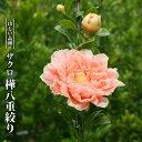 ザクロ 樺八重絞り 3.5号ポット苗 【ハナヒロバリュー】