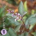 ニンジンボク プルプレア (ミツバハマゴウ 紫葉) ポット苗