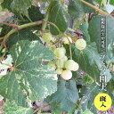 【ブドウ 苗木】 斑入りぶどう 白実 3.5号ポット苗