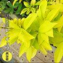 レンギョウ 黄金葉 3.5号ポット苗 【ハナヒロバリュー】