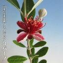 【コバーノ】 フェイジョア 3.5号ポット苗 挿し木 【ハナヒロバリュー】
