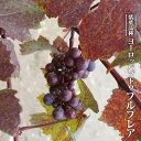 ヨーロッパブドウ プルプレア 3.5号ポット苗 挿し木 【ハナヒロバリュー】