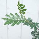 アカシアの木 デアネイ (ディーンズワトル) 3号ポット苗 シンボルツリー 庭木 常緑樹