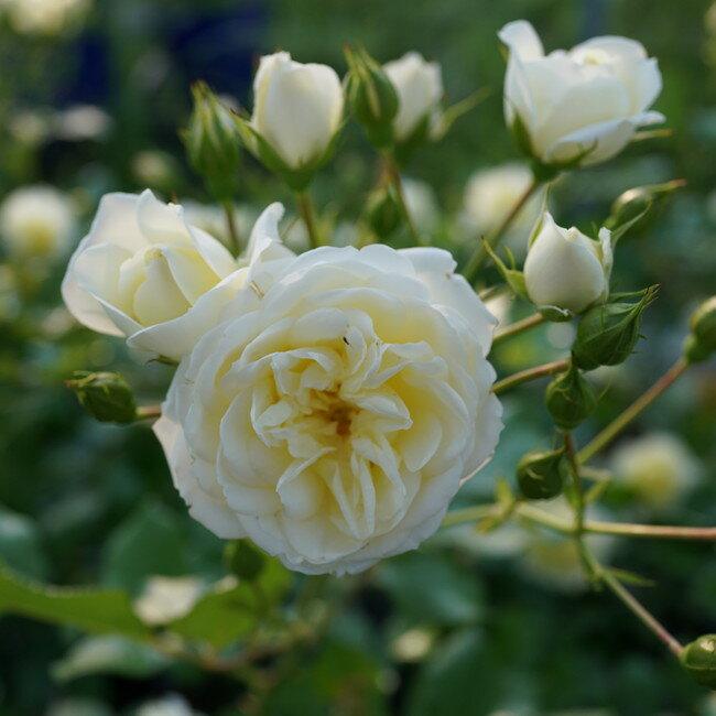 【バラ苗】 バニラボニカ 大苗【京成バラ】 初心者に超おすすめ 四季咲き 白色 強健 バラ 苗 薔薇
