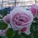 RoomClip商品情報 - 【バラ苗】 ジャスミーナ 大苗つるバラ 【京成バラ】 初心者に超おすすめ ピンク バラ 苗 薔薇
