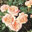 【バラ苗】 アフロディーテ 大苗 木立バラ 四季咲き ピンク バラ 苗 薔薇 バラ苗木