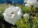【バラ苗】つるアイスバーグ(CL)国産苗大苗6号ポット白色強健バラ苗つるバラツルバラつるばら薔薇