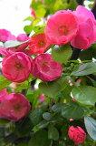 安吉拉玫瑰盛开,以弥补分厂(CL)的第6号 - 盆栽植物 - 一个新的国内厂[【バラ苗】 アンジェラ (中輪CL) 国産苗 長尺 8号ポット大苗 四季咲き ピンク 強健 バラ 苗 つるバラ ツルバラ つるばら 薔薇【ヤマト不可】