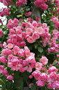【バラ苗】 アンジェラ 大苗 つるバラ 四季咲き ピンク 強健 バラ 苗 つるばら 薔薇 np