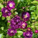 【バラ苗】 バイオレット 大苗 つるバラ 強健 紫色 薔薇 バラ苗木 np