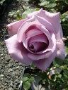 ■店長おすすめ■【バラ苗】 つるブルームーン 3年生特大苗 つるバラ 青紫色 強香 バラ 苗 つるばら 薔薇 ブルー系 フルーツ系 バラ苗木