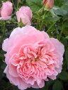 【バラ苗】 ダムドゥシュノンソー (大輪 デルバール ) (Del) 国産苗 大苗 6号ポット ピンク 強香 強健 バラ 苗 薔薇
