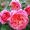 【バラ苗】 フラマンローズ 大苗 デルバール (Del) 四季咲き ピンク オレンジ 強香 強健 薔薇 【予約販売】12月〜翌1月以降発送予定