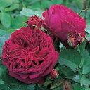 【バラ苗】 フォールスタッフ 大苗 イングリッシュローズ ER 輸入苗 赤色 強香 強健 薔薇 バラ苗木